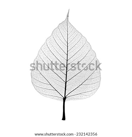 Leaf veins isolated on white background. include clipping path. - stock photo