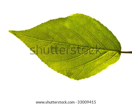 Leaf with veins isolated on white background