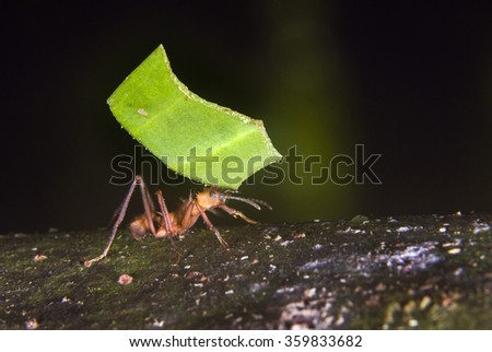 Leafcutter ant (Acromyrmex octospinosus) carrying a piece of leaf, Pacaya Samiria National Reserve, Yanayacu River, Amazon area, Peru