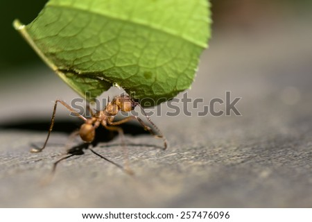Leafcutter ant in Costa Rica - stock photo