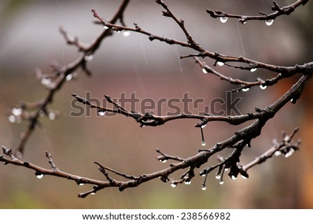 leafless apple branches with rain drops