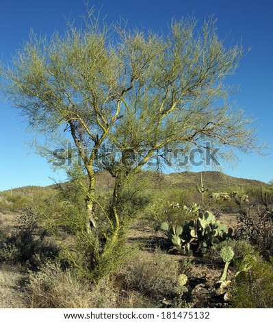 Leafless palo verde tree, showing the smooth, green bark.  The palo verde tree is the official state tree of Arizona