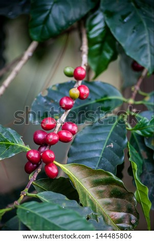 Leafs and mellow grains of coffee plant - stock photo
