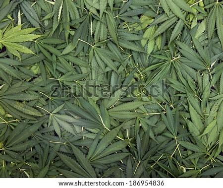 leafs of marijuana on a heap - stock photo