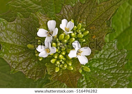 Leafy green leaf whorl and white flowers of the biennial weed garlic mustard (Alliaria petiolata) in the family Brassicaceae fill the frame