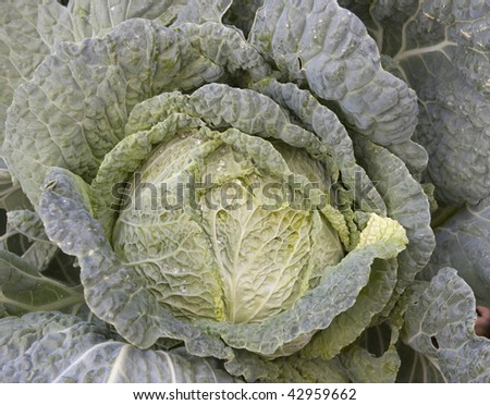 Leafy Kale - stock photo