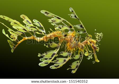 Leafy Sea dragon - stock photo