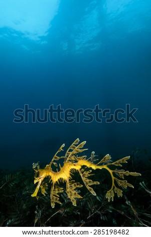 Leafy Sea Dragon under Rapid Bay Jetty - stock photo