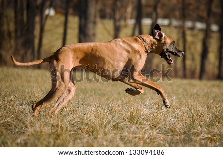 leaping great dane - stock photo