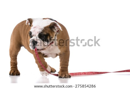 leash training a puppy - english bulldog three months old - stock photo