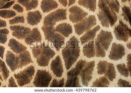 Leather giraffe,leather,giraffe,textured skin of giraffe, textured skin . - stock photo