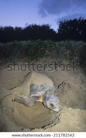 Leatherback Turtle nesting on beach - stock photo