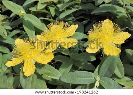 leaves and flowers of St. John's wort, Hypericum calycinum - stock photo