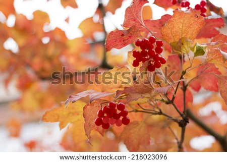 Leaves and fruits of Viburnum - stock photo