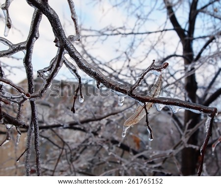 Leaves, branches, and newly formed buds encased in ice after a late winter ice storm. - stock photo