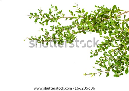 Leaves branches isolated on white (Terminalia ivoriensis A. Chev. in science name) - stock photo