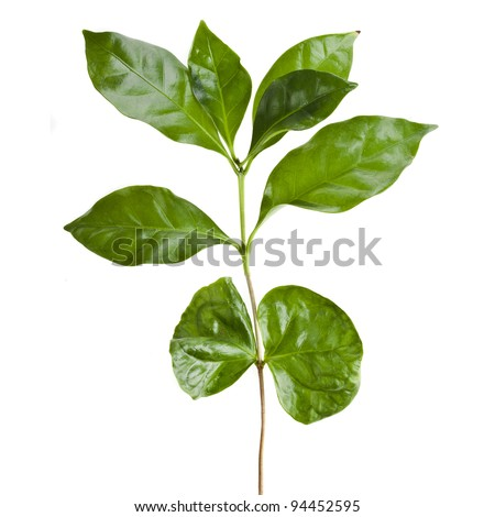 Leaves coffee tree  isolated on white background - stock photo