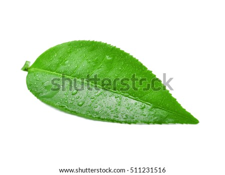 leaves green tea with drops of water isolated on white background.
