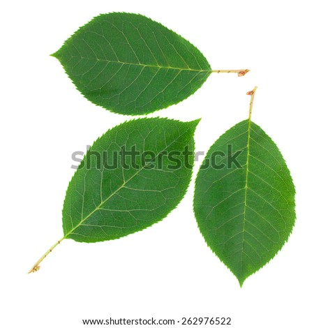 Leaves isolated on a white background  - stock photo