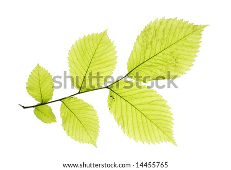 Leaves isolated on white background, branch of a tree, maple