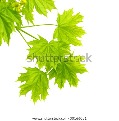 Leaves of a maple - over white