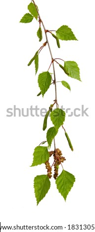 Leaves of a silver birch tree, hanging, against white background.  Fresh spring growth. - stock photo