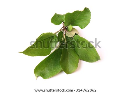 leaves of apple isolated on a white background - stock photo