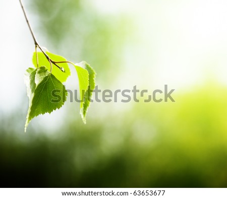 leaves of birch in forest - stock photo