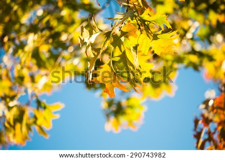 Leaves of Canadian maple tree over blue sky - stock photo