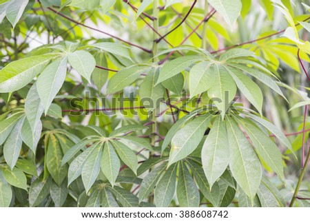 Leaves of cassava plant. Cassava is the third largest source of food carbohydrates in the tropics after rice and maize. - stock photo