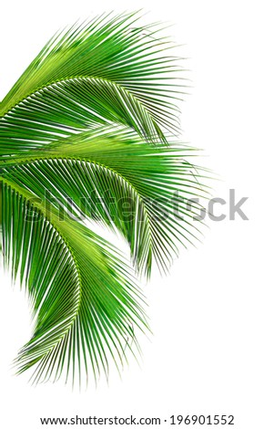 leaves of coconut tree isolated on white background, clipping path included