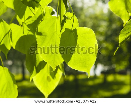 Leaves of Common Lime, Tilia Europeaea, tree in morning sunlight, selective focus, shallow DOF