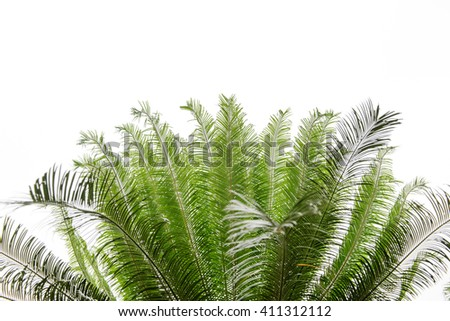 Leaves of cycas tree isolated on white  background