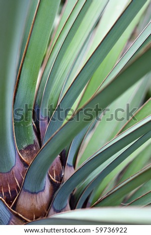Leaves of Datil yucca or Banana yucca palm - stock photo