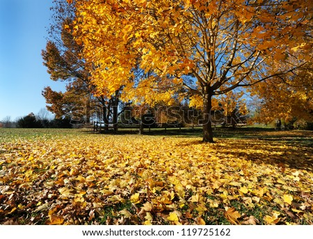 leaves of gold carpeting the ground, fall tree with wide-angle lens