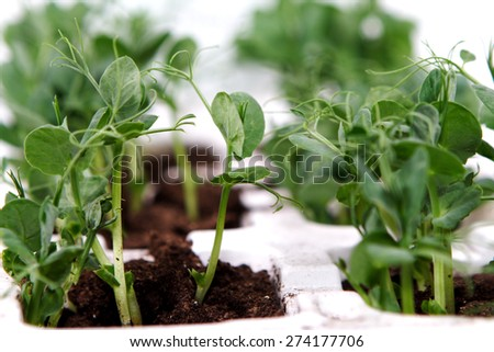 Leaves of growing mint over white - stock photo