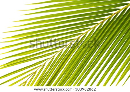 leaves of palm tree isolated on white