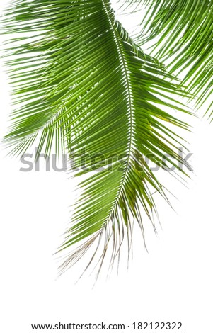 Leaves of palm tree isolated on white background. - stock photo