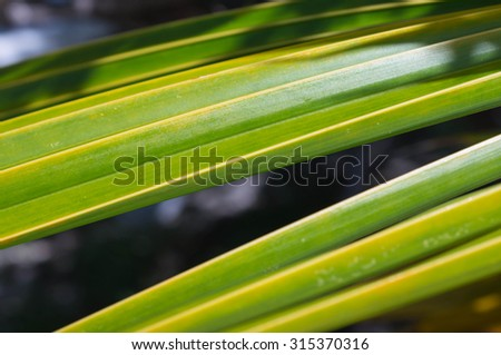 Leaves of palm tree lit by the sun close up