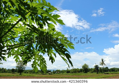 Leaves of papaya on the bright sky, scenery of rice fields after the harvest season - stock photo