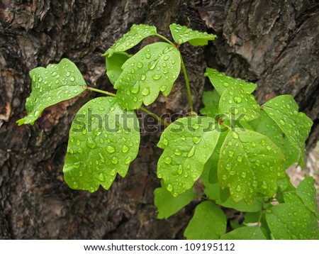 Leaves of poison oak plant with water droplets after rain - stock photo
