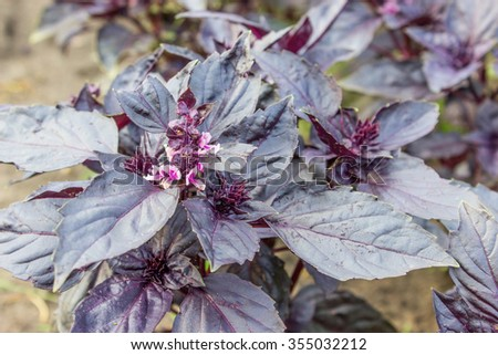 Leaves of red basil / basil plant / basil