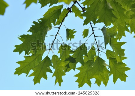 Leaves of red northern oak - Quercus rubra - stock photo