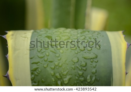 leaves of succulent plant agave americana - stock photo