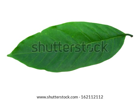 Leaves of the coffee tree on a white background.