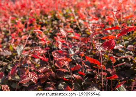 Leaves of the European Purple Beech or Fagus sylvatica Atropurpurea in low afternoon sunlight in the beginning of the summer season. - stock photo