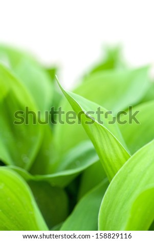leaves of young lily of the valley on white background - stock photo