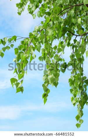 Leaves on a branch of a birch against the sky - stock photo