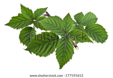 leaves on a white background. picture from series. - stock photo