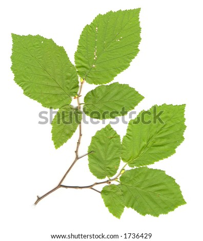Leaves on Branch isolated - stock photo